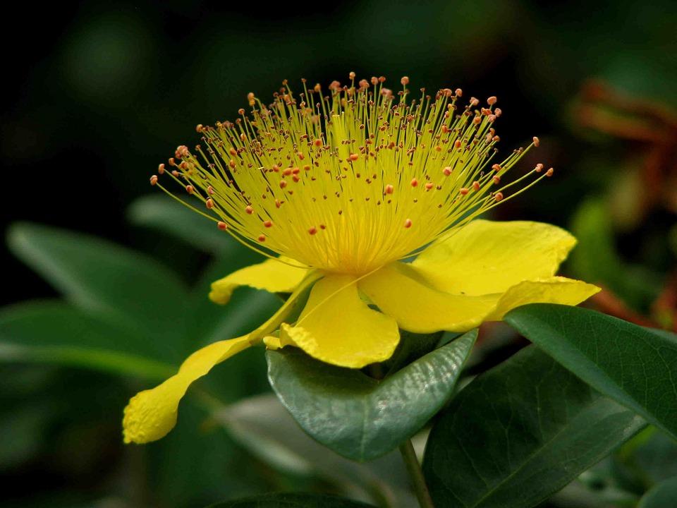 St John's Wort, Plant, Blossom, Bloom, Yellow, Flower