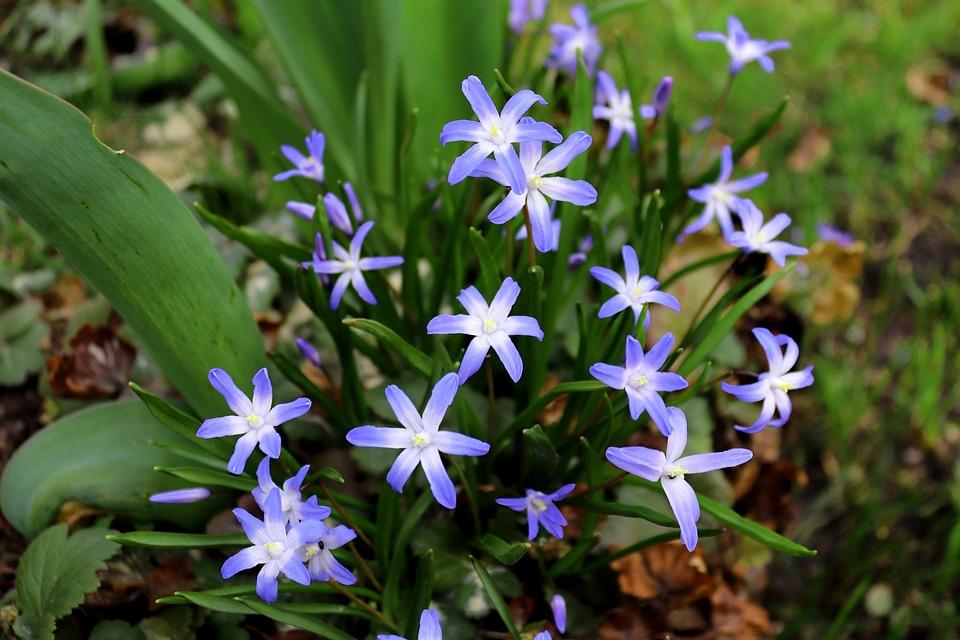 Flower, Nature, Plant, Blossom, Bloom, Blue, Starflower