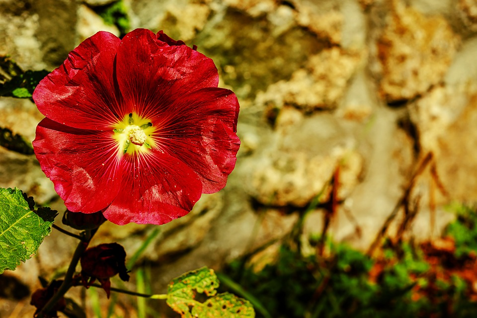 Stock Rose, Common Peony, Flower, Blossom, Bloom