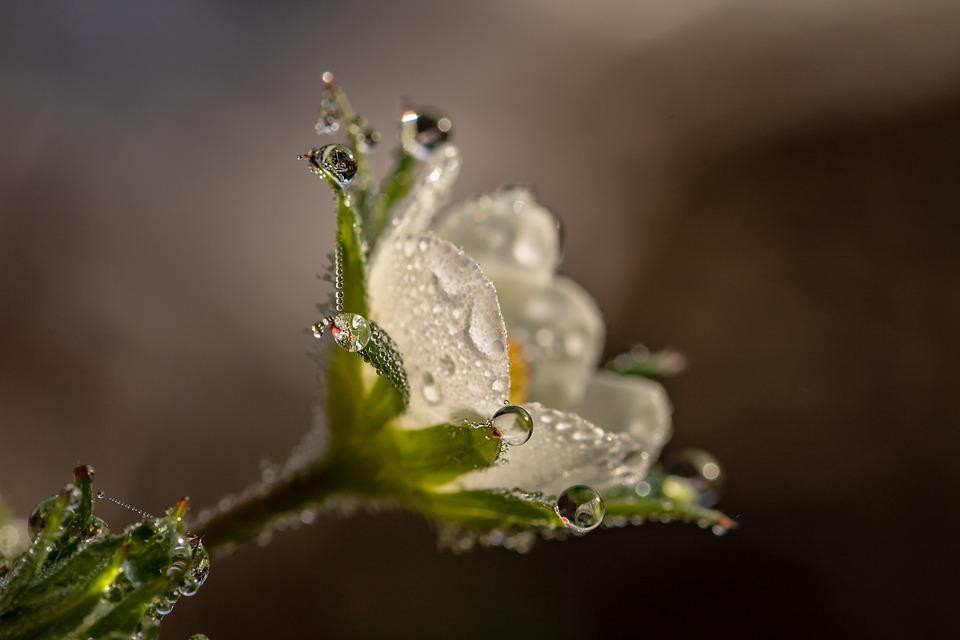 Raindrop, Dewdrop, Strawberry Flower, Blossom, Bloom