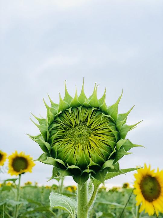 Sunflower, Yellow, Farm, Flower, Bloom, Summer, Blossom