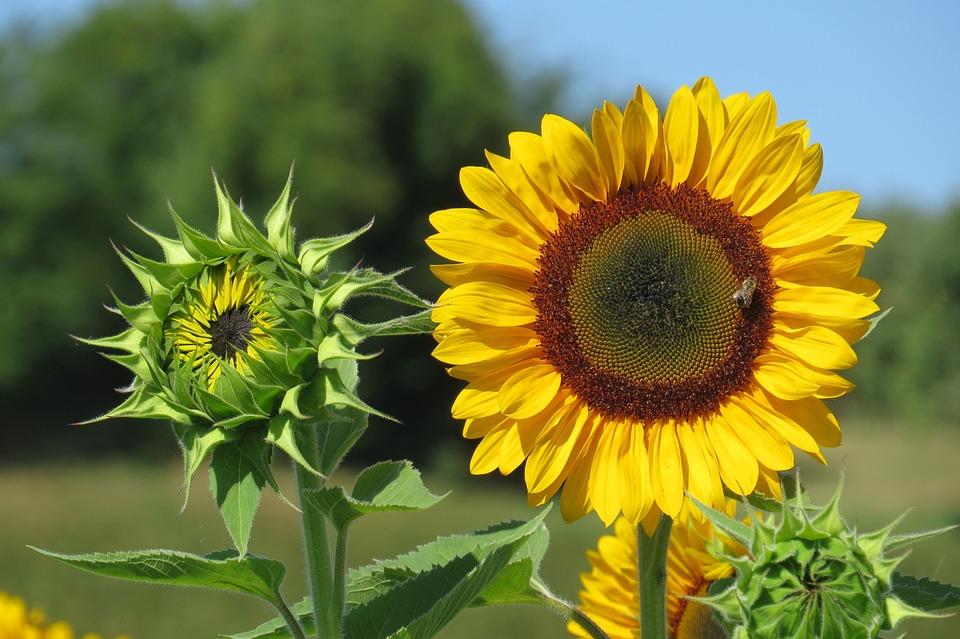 Sunflower, Bud, Bright, Sunny, Summer, Blossom, Bloom