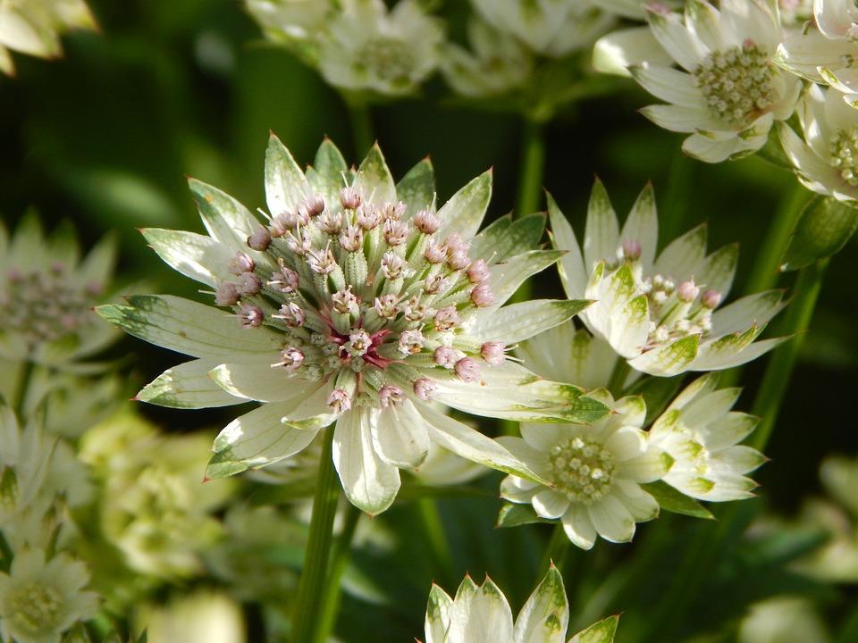 Masterwort, Garden, Summer Flower, Blossom, Bloom