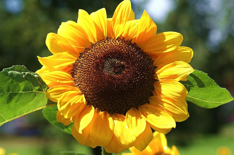 Sun Flower, Yellow, Blossom, Bloom, Flower, Summer