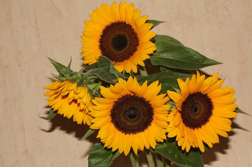 Sun Flower, Blossom, Bloom, Plant, Close, Summer, Bloom