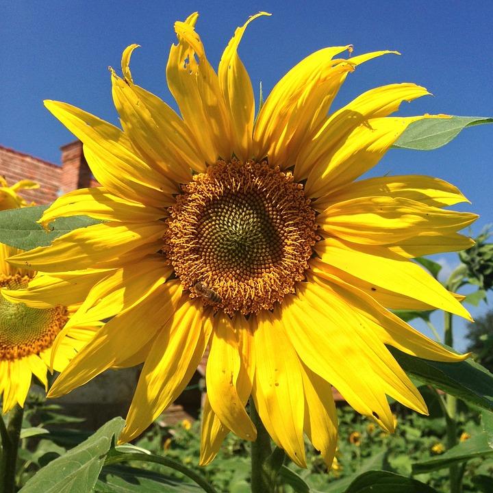 Sun Flower, Blue Sky, Blossom, Bloom, Summer, Close