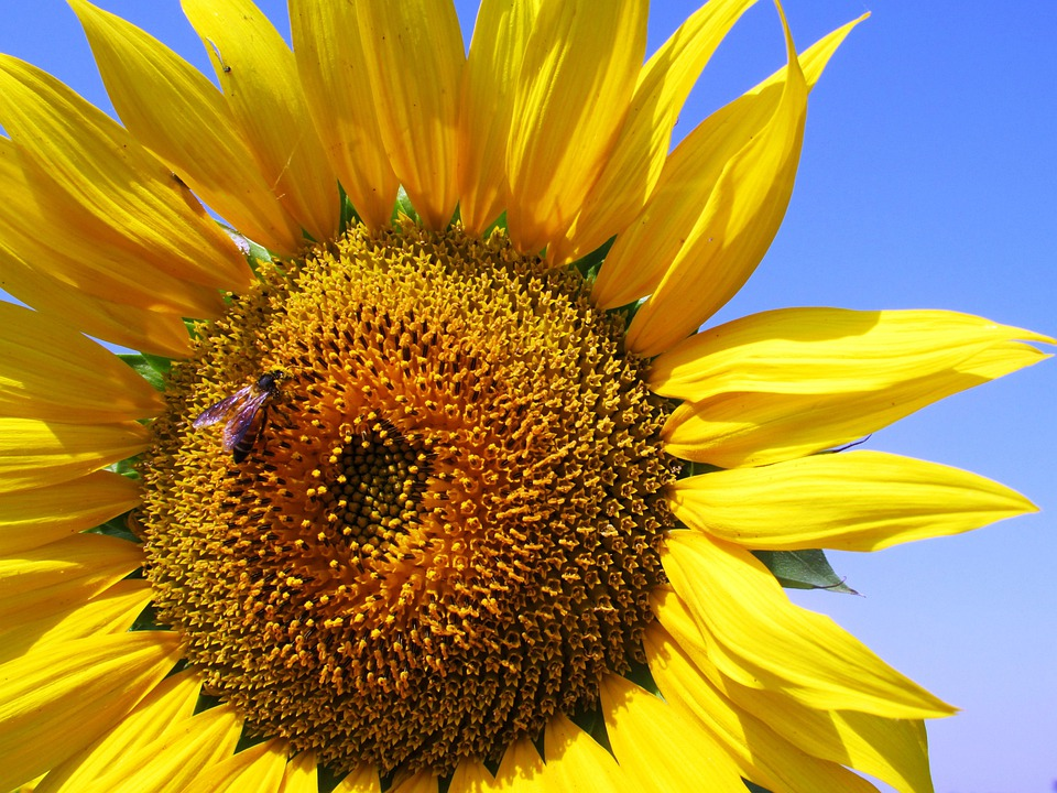 Sunflower, Honeybee, Flower, Yellow, Blossom, India