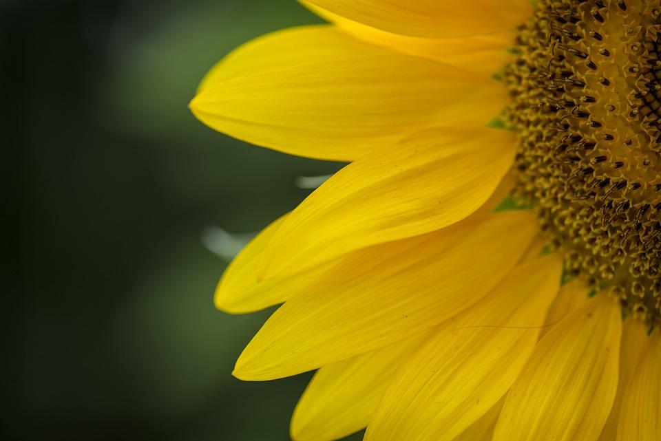 Sunflower, Yellow, Flower, Nature, Flora, Blossom