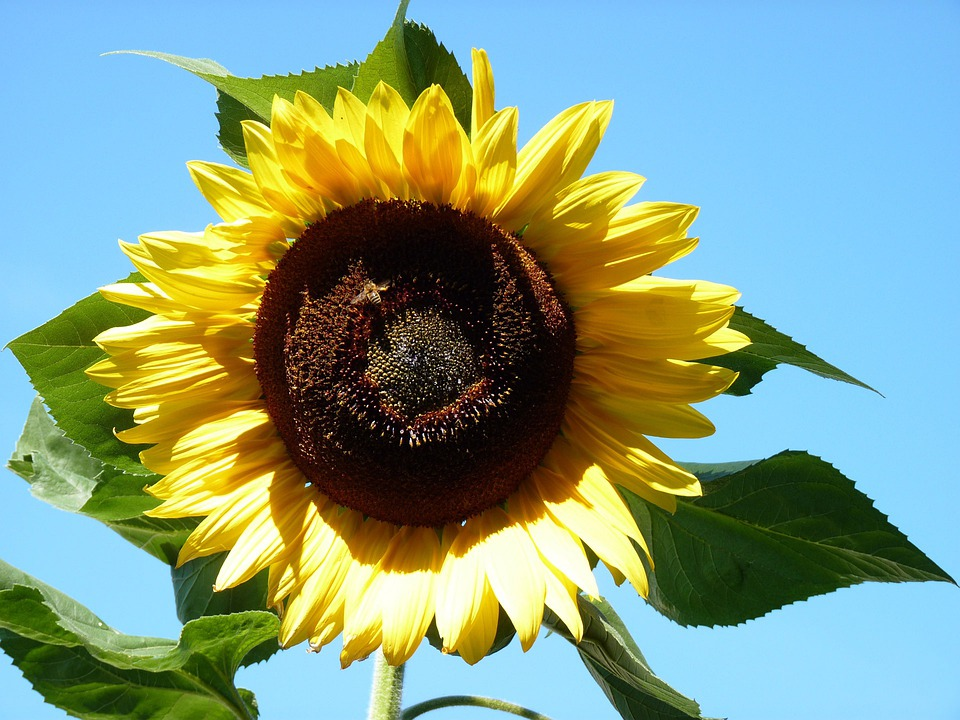Sunflower, Floral, Plant, Natural, Blossom, Bloom