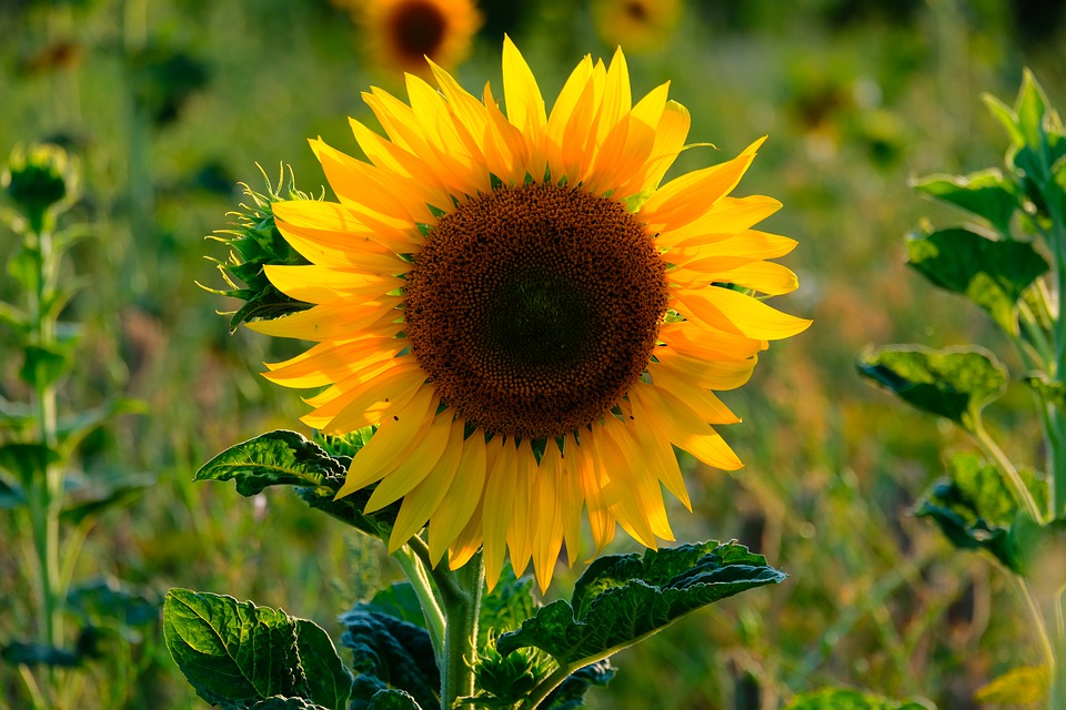 Sunflower, Flower, Summer, Yellow, Blossom, Bloom