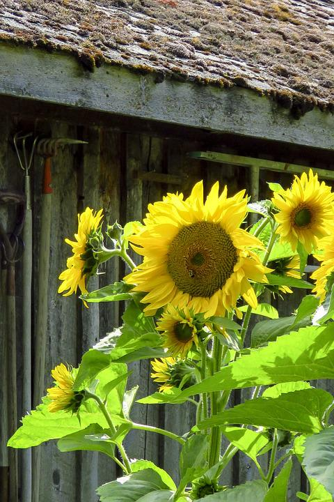 Sunflower, Flower, Yellow, Nature, Summer, Blossom