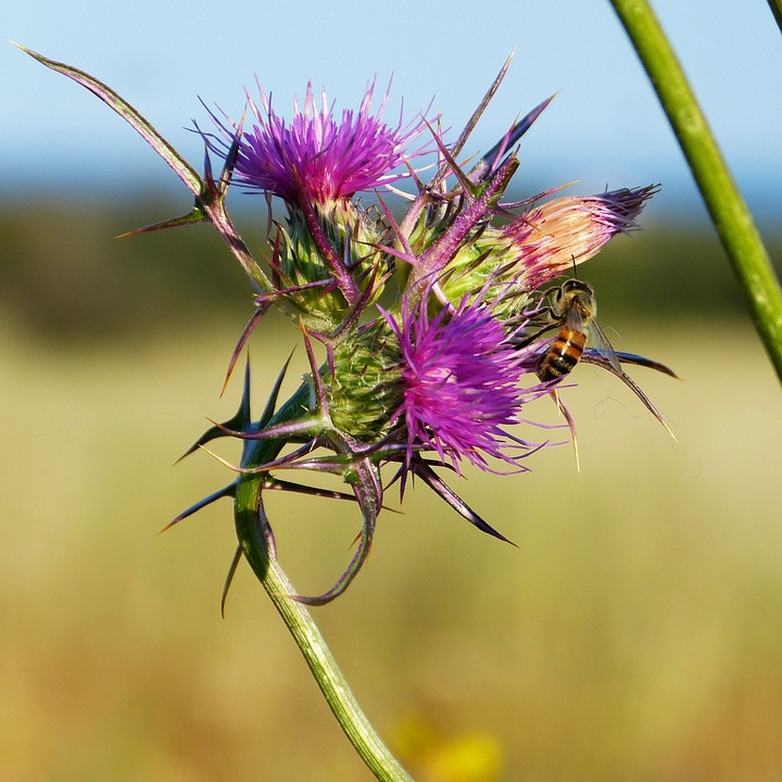 Thistle, Thorns, Flower, Bee, Nature, Flora, Blossom