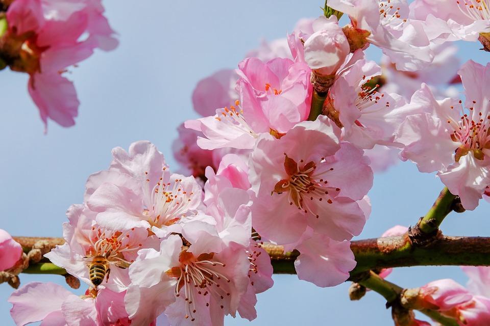 Free photo Blossom Tree Japanese Cherry Trees - Max Pixel