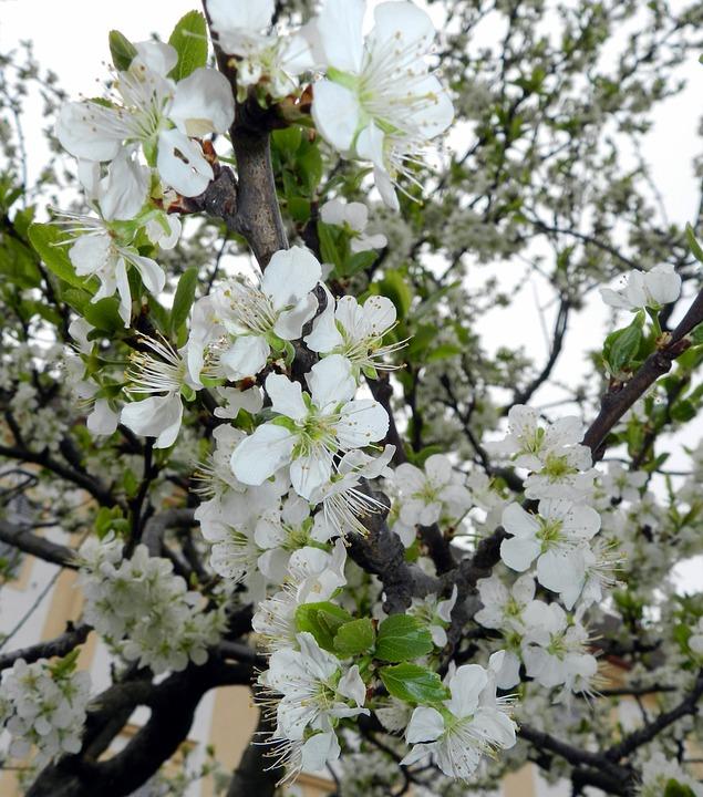 Blossom, Bloom, Spring, Tree