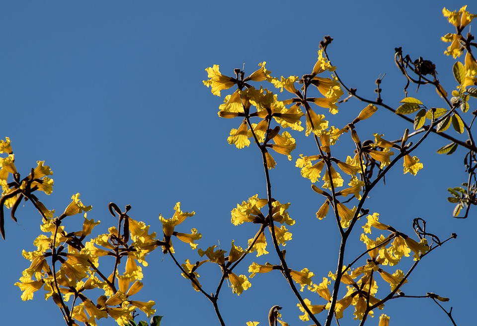 Free Photo Blossom Tree Yellow Flowers Blooms Australia Max Pixel