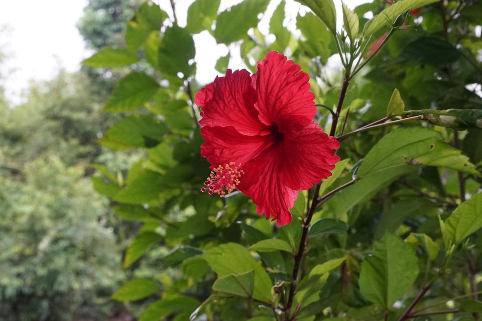 Wild Hibiscus, Rain Forest, Tropical Flowers, Blossom