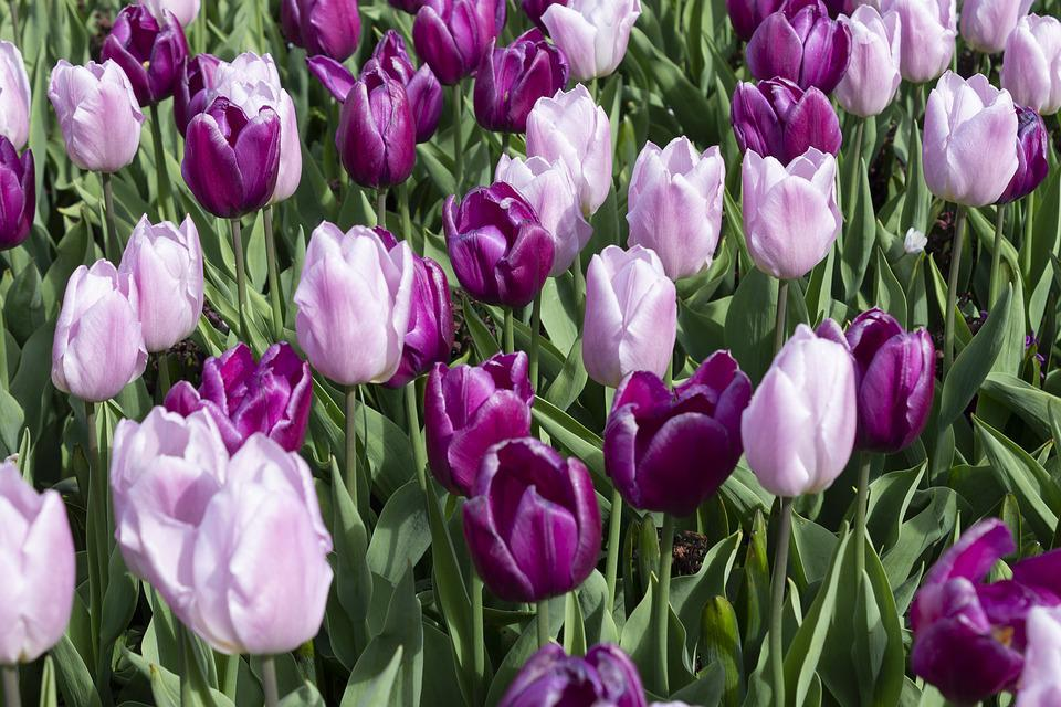 Tulips, Spring, Flowers, Tulip, Blossom, Bloom, Purple