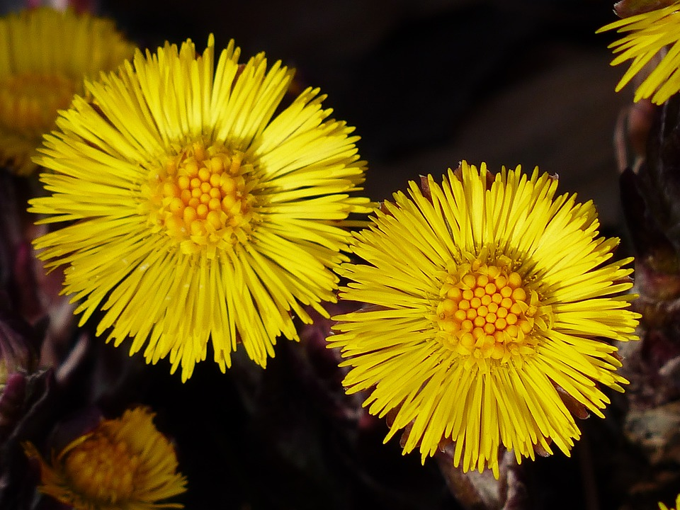 Tussilago Farfara, Flower, Macro, Close, Blossom, Bloom