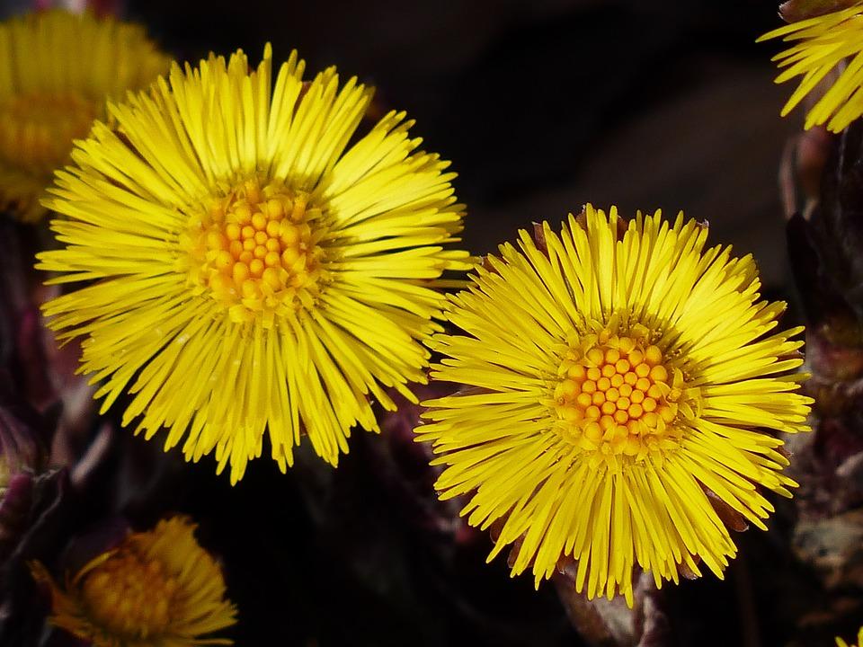 Tussilago Farfara, Flower, Macro, Close, Blossom, Bloom