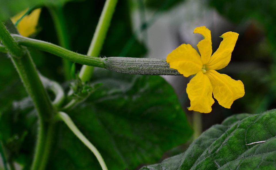 Cucumber, Blossom, Bloom, Vegetables, Garden