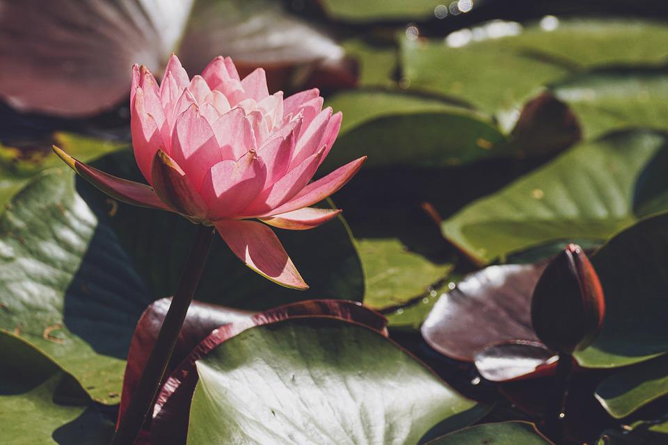 Water Lily, Pink, Blossom, Bloom, Pond, Nature