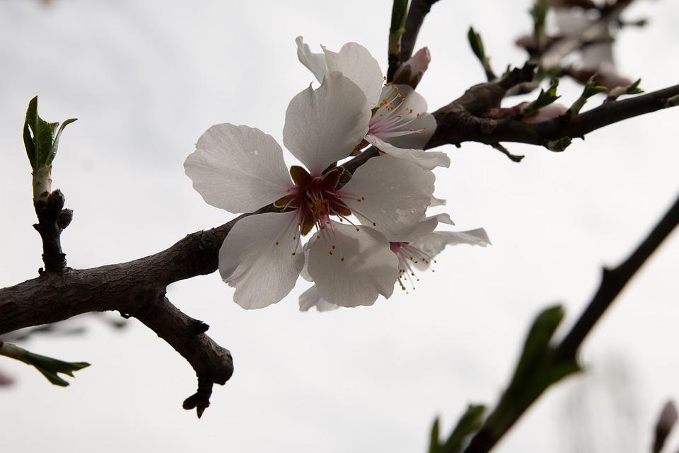 Apple Blossom, White, Blossom, Bloom, Spring