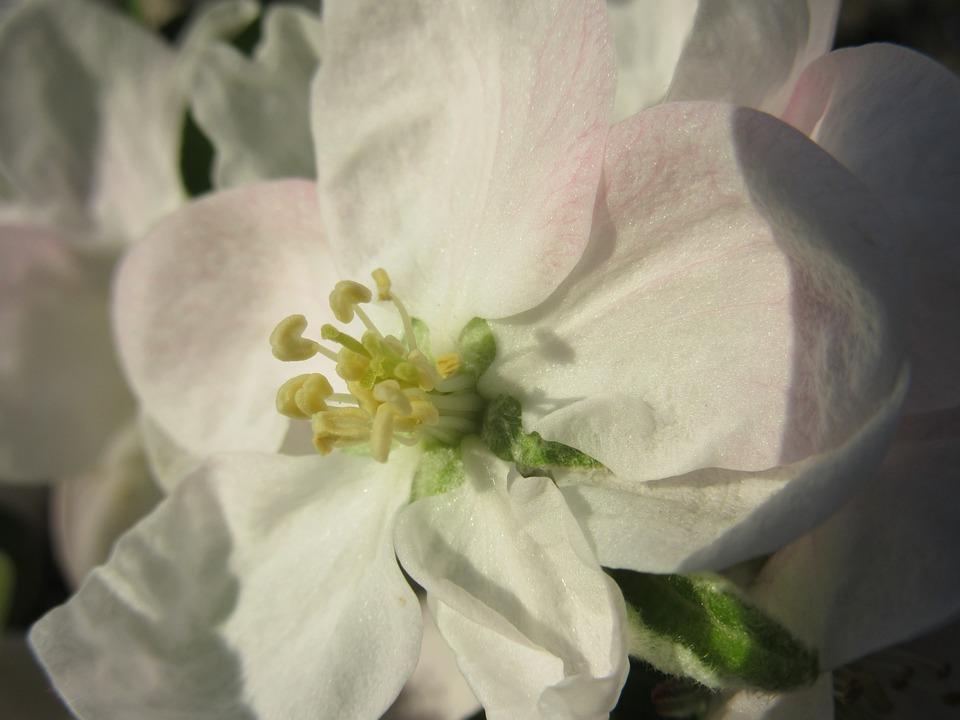 Apple Blossom, Blossom, Bloom, White, Bloom, Petals