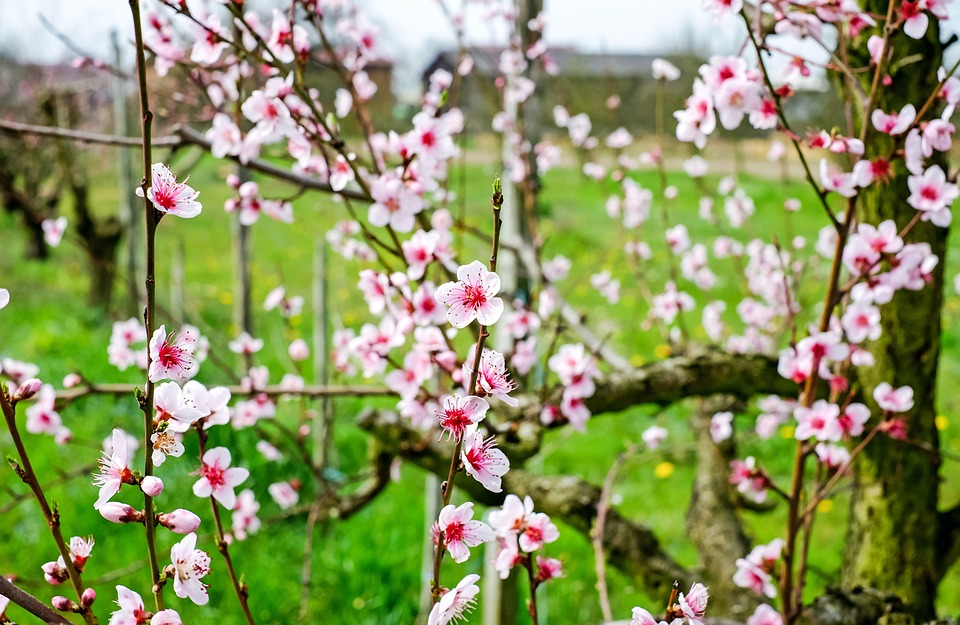 Cherry Blossom, Wild Cherry, Blossom, Bloom, Red, White