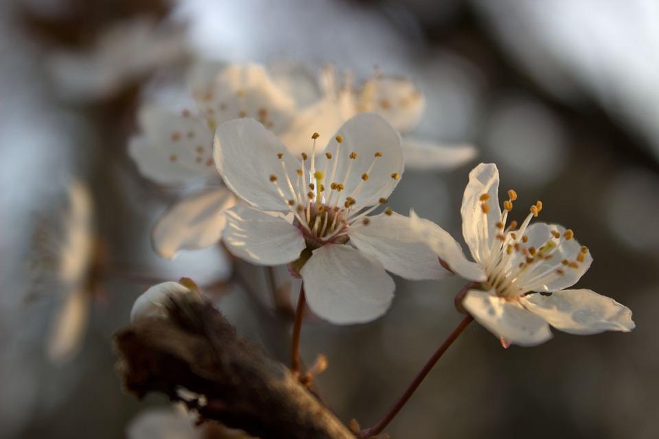 Blossom, White, Spring, Blossom, Bloom, White Blossom