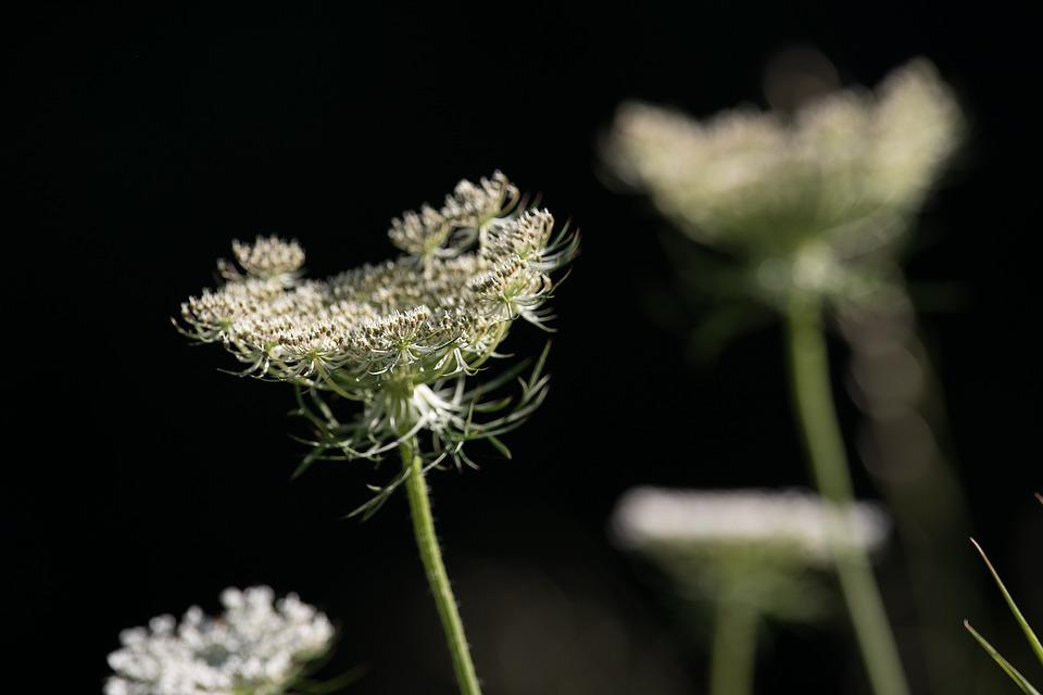 Wild Carrot, Blossom, Bloom, White, White Blossom