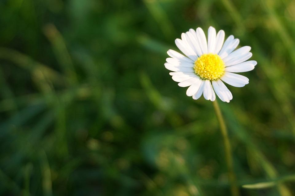 Daisy, White, Blossom, Bloom, Wild Flowers