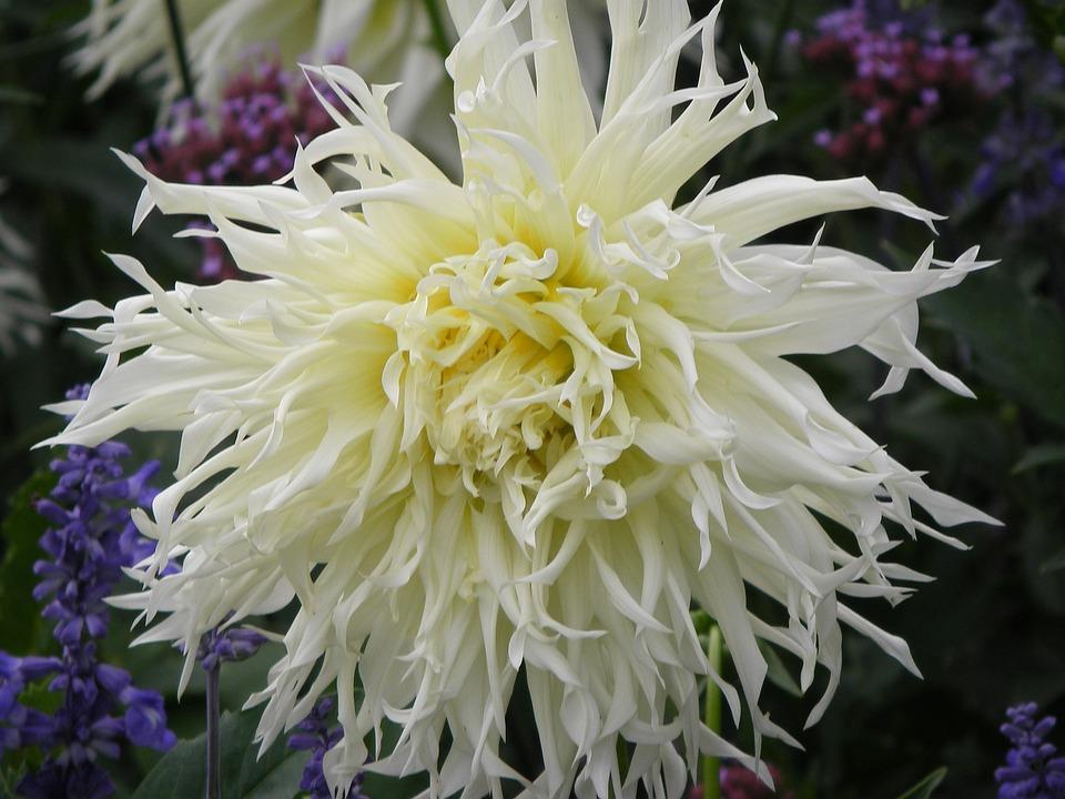 Dahlia, White, Blossom, Bloom, Flower Garden, Autumn