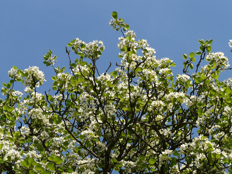 Flowers, White, Pear, Pear Blossom, Blossom, Bloom