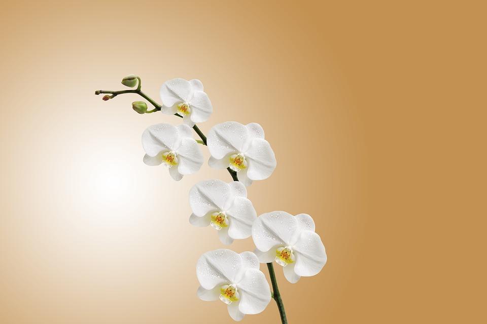 Flowers, Orchids, White, Petals, Bloom, Blossom, Flora