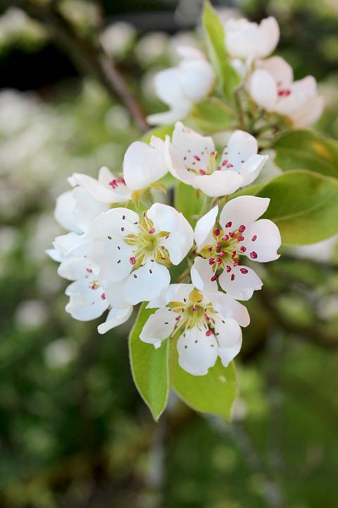 Pear, Blossom, Bloom, Pyrus Communis, Fruit, White
