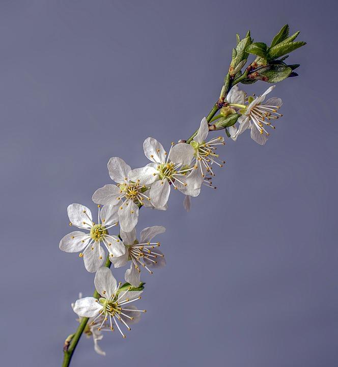 Blossom, Spring, Bloom, Flower, Plant, Nature, White
