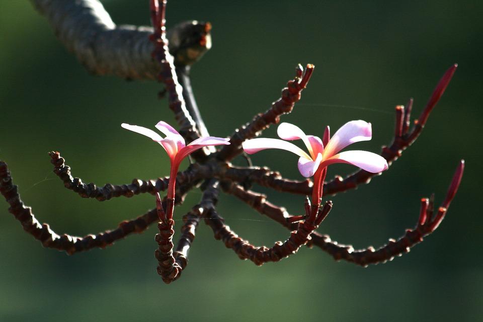 Plumeria, Flower, Plant, Tree, Blossom, White, Pink