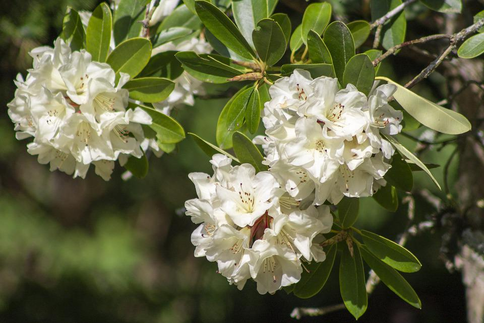 Rhododendron, Flowers, Spring, Blossom, White, Nature