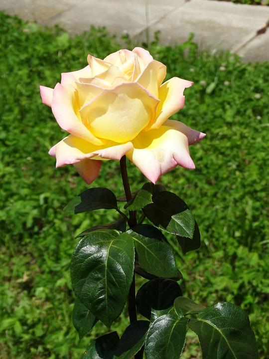 Roses, White, Blossom, Bloom, Flowers, Rose Bloom
