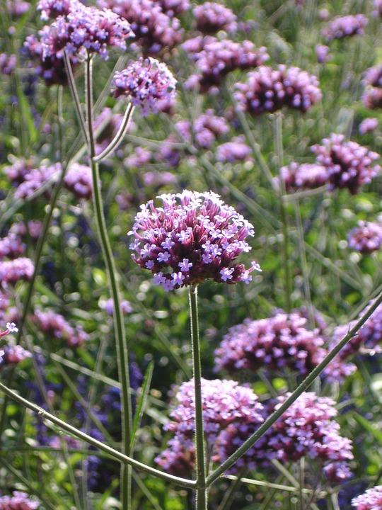 Wild Dost, Dost, Flower, Blossom, Bloom, Pointed Flower