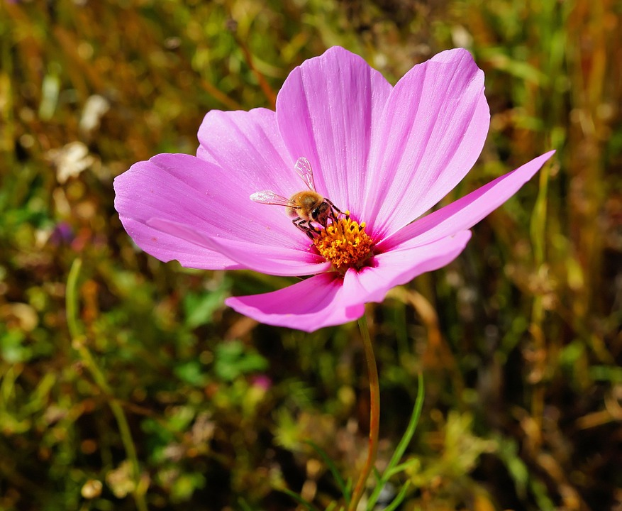 Flower, Blossom, Bloom, Close, Pink, Wild Flower, Bee