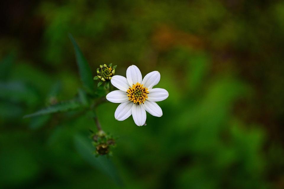 White Flower, Flower, Blossom, Vegetation, Wild Flower