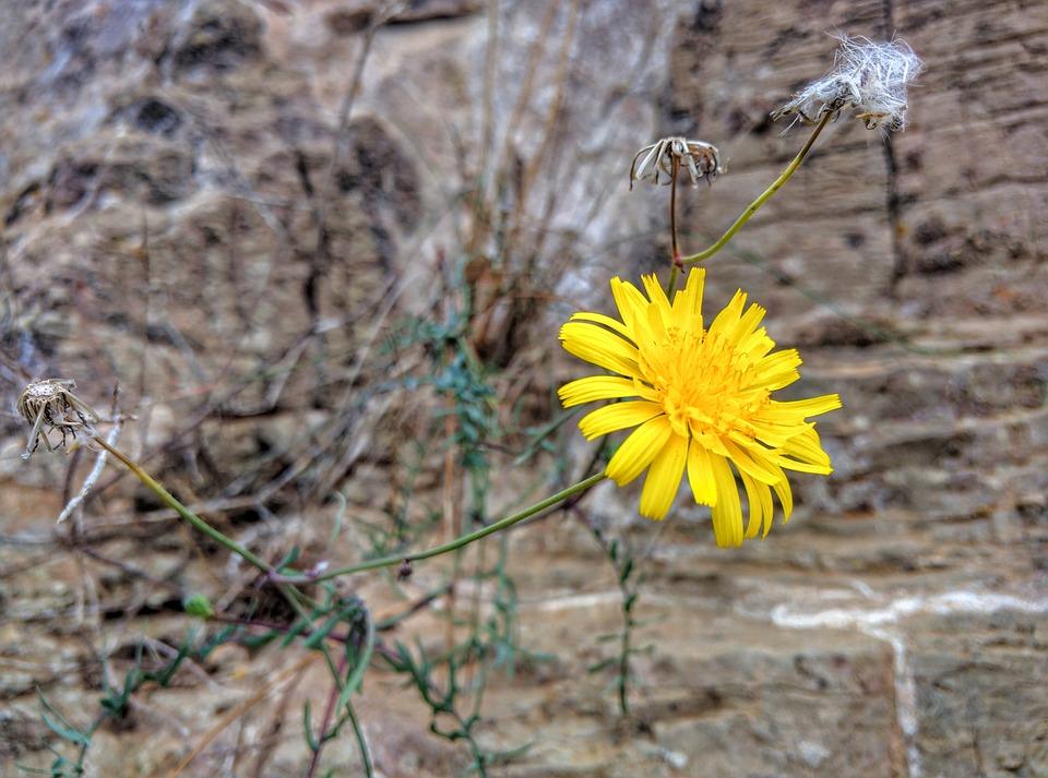 Dandelion, Wild, Flower, Plant, Yellow, Flora, Blossom