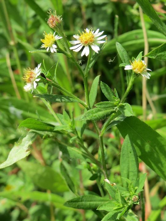 Symphyotrichum, Wildflower, Flora, Blossom, Botany