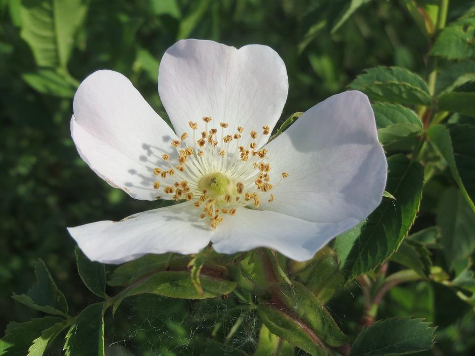 Rosa Canina, Dog Rose, Blossom, Macro, Wildflower