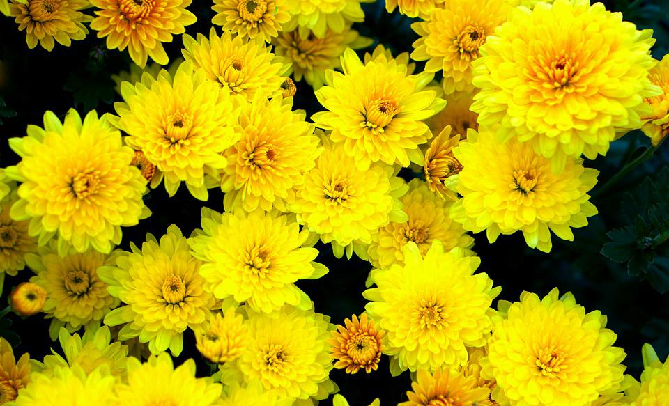 Flowers, Yellow, Blossom, Bloom, Asters, Yellow Asters