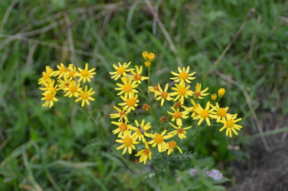 Flower, Jacob Ragweed, Blossom, Bloom, Yellow