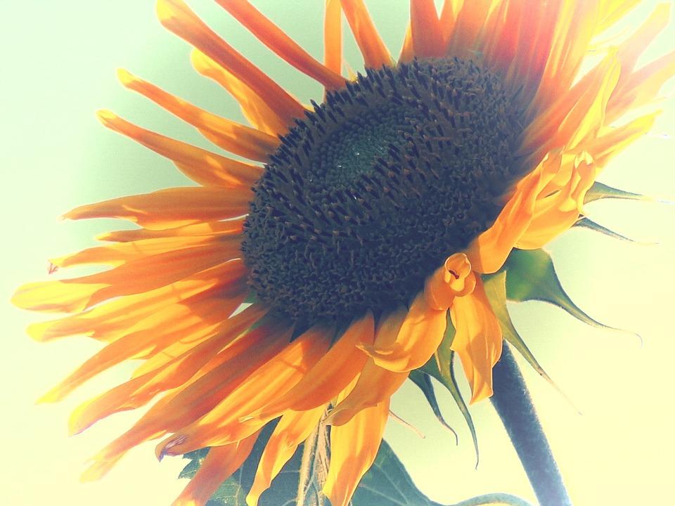 Sun Flower, Yellow, Edited, Summer, Blossom, Bloom