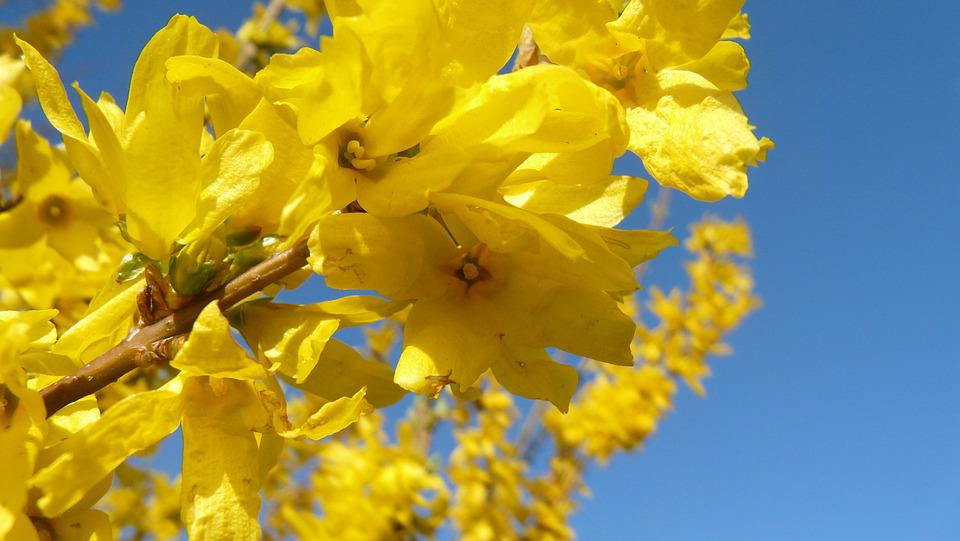 Forsythia, Blossom, Bloom, Yellow, Blossom, Nature