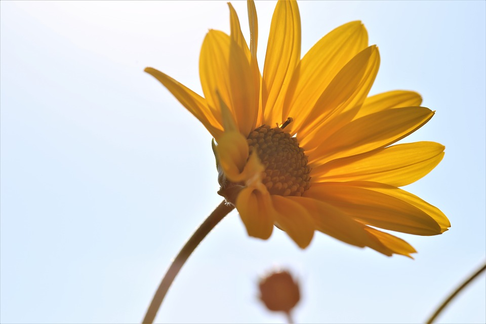 Arnica, Flower, Yellow, Blossom, Plant, Bloom, Medicine